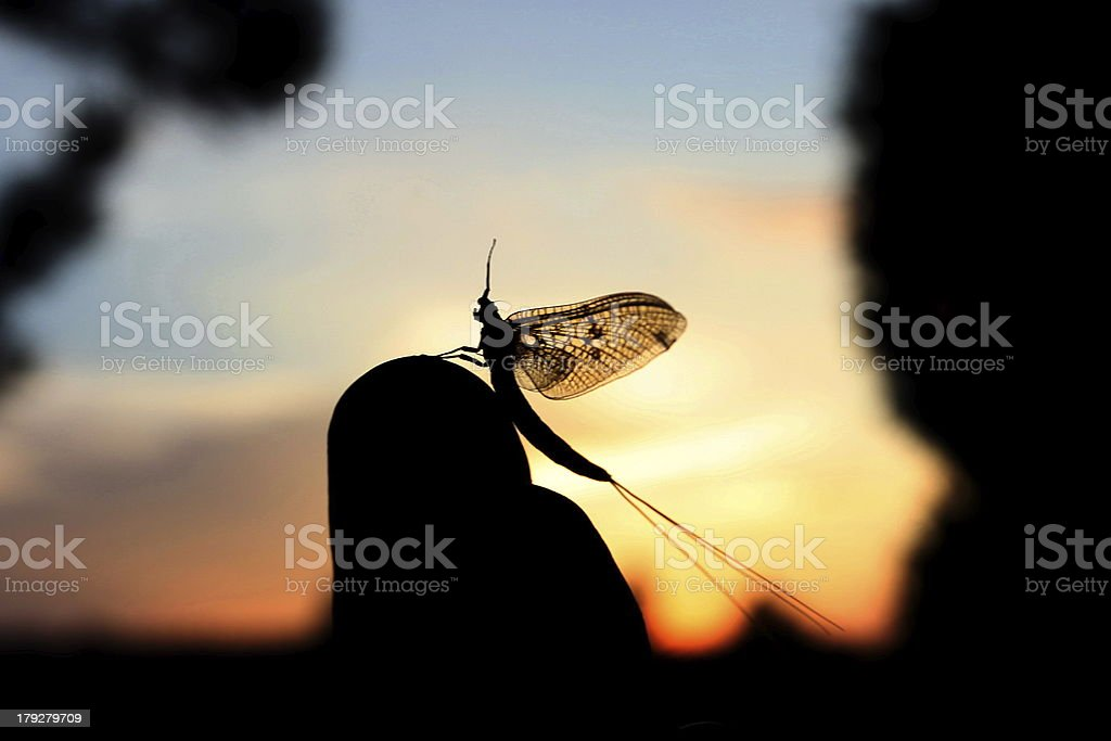 Mayfly Insect royalty-free stock photo
