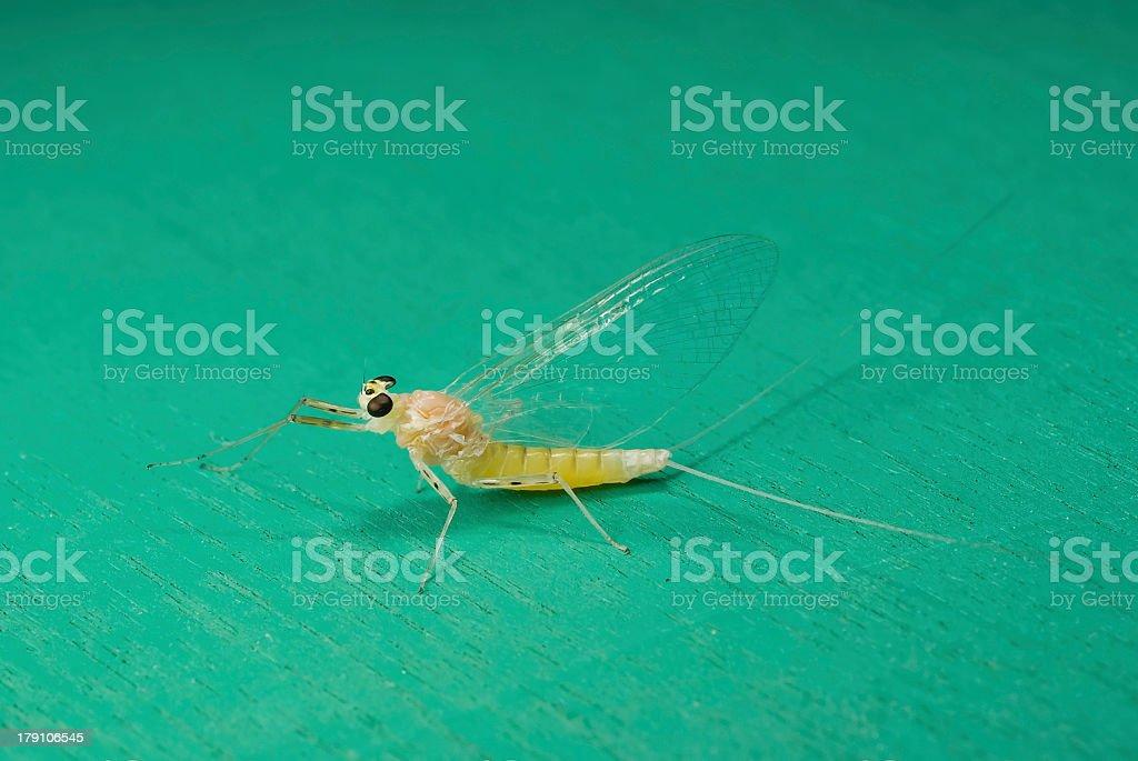 Mayfly royalty-free stock photo
