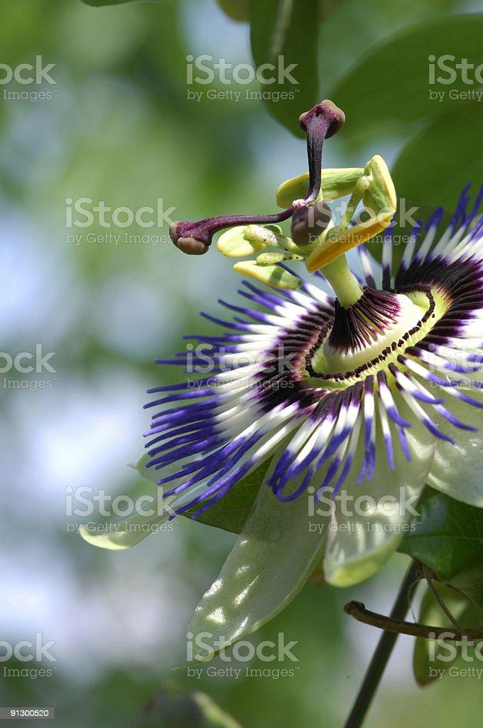 Maypop (Passiflora incarnata) stock photo