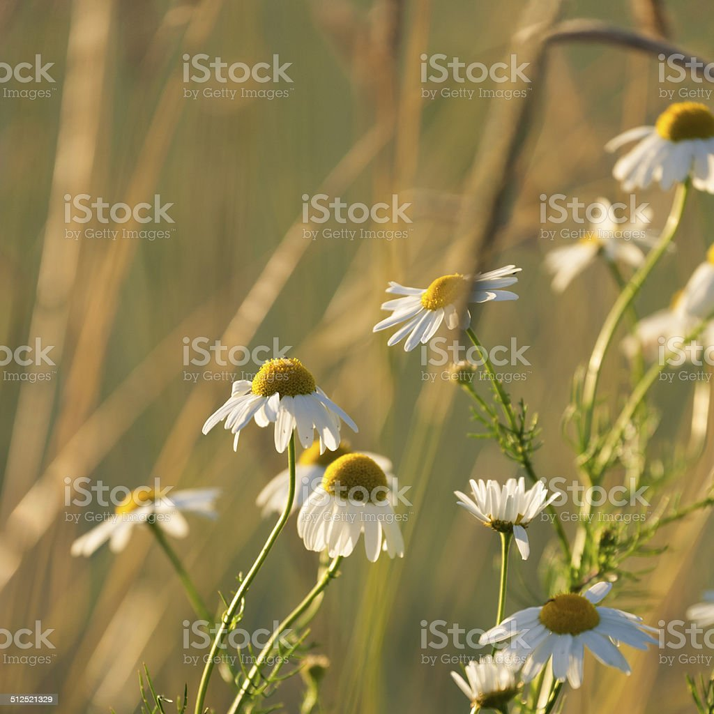 Mayweed stock photo