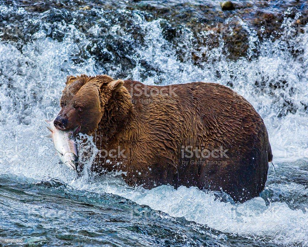 McNeil River Bear stock photo