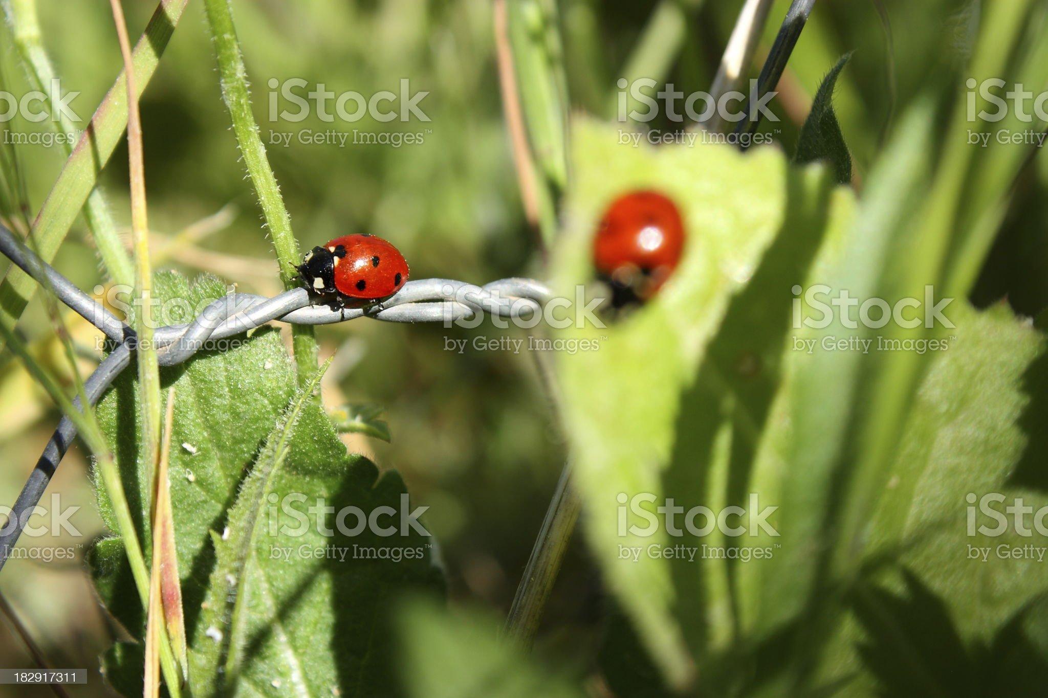 Meadow and ladybug royalty-free stock photo