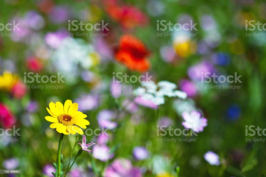 Meadow and wildflowers stock photo