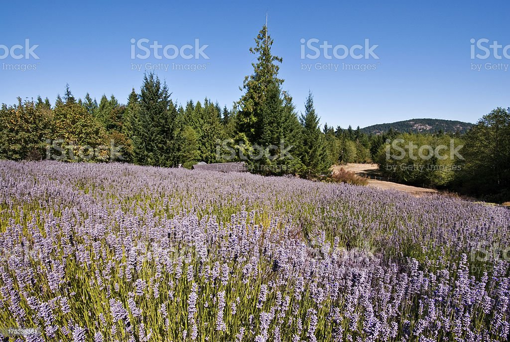 Meadow at a Lavender Farm stock photo