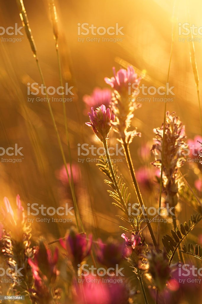 Meadow at sunset stock photo