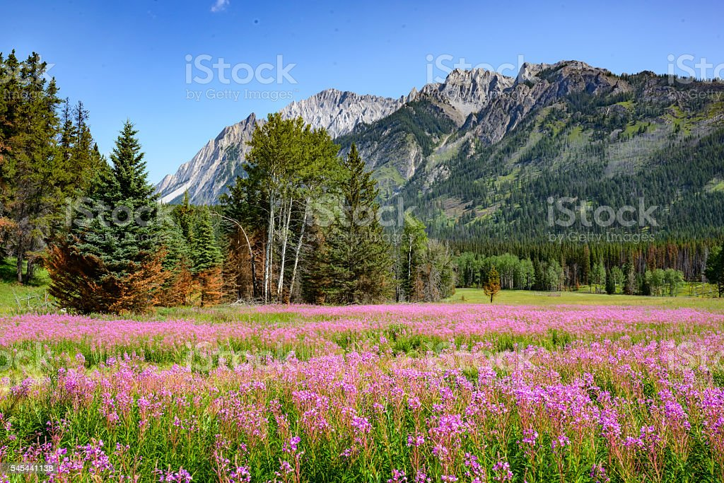 Meadow, Banff National Park, Alberta, Canada stock photo