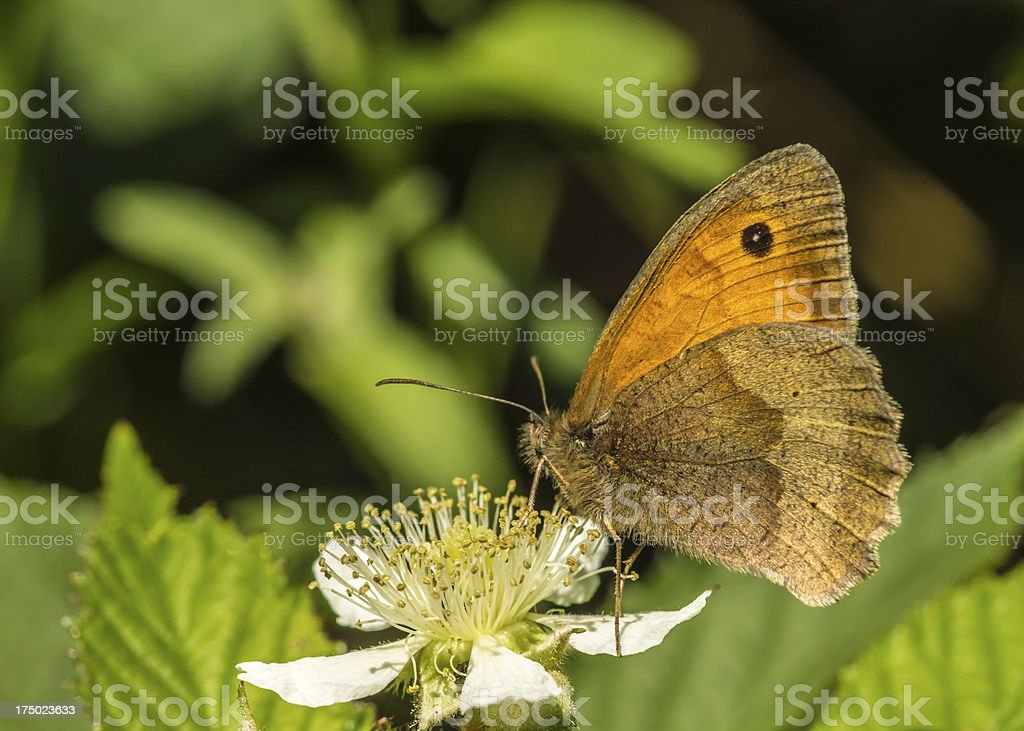 meadow brown Butterfly stock photo