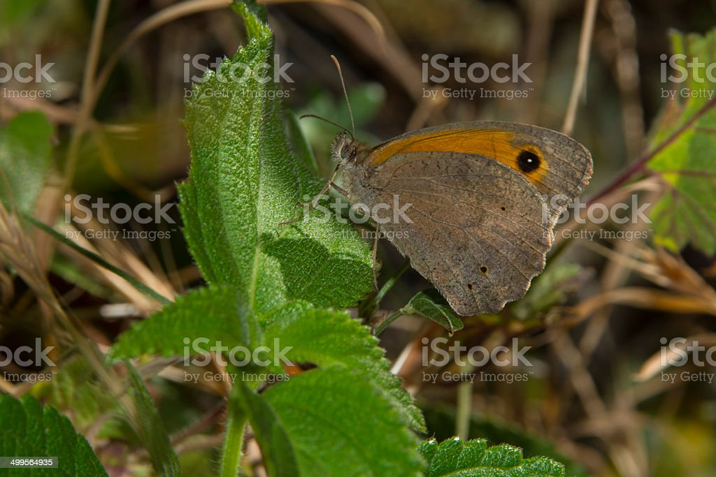 Meadow Brown Butterfly royalty-free stock photo