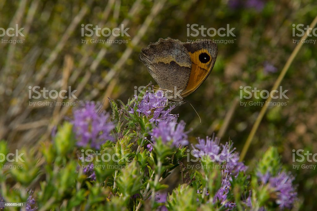 Meadow Brown Butterfly var hispulla royalty-free stock photo