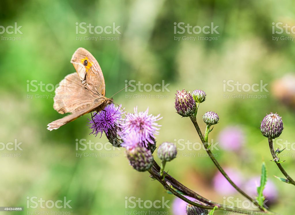 Meadow Brown (Maniola jurtina) royalty-free stock photo
