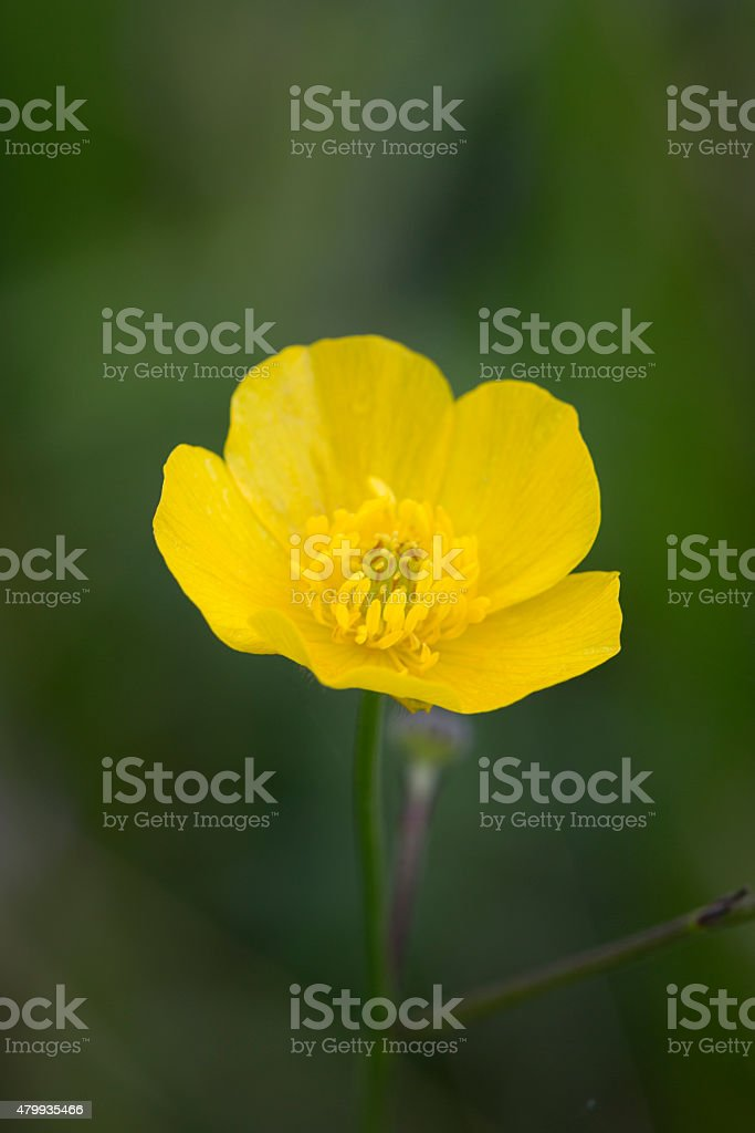 Meadow Buttercup; close-up stock photo