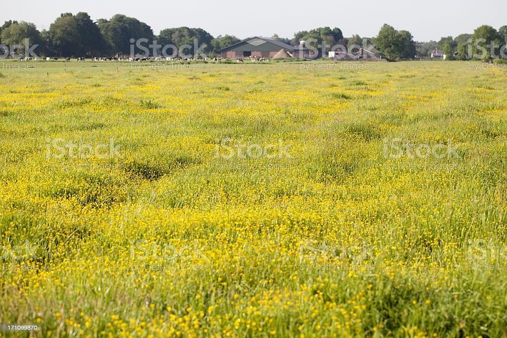Meadow Buttercup (Ranunculus acris) in a Field royalty-free stock photo