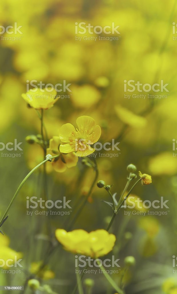 Meadow Buttercup stock photo