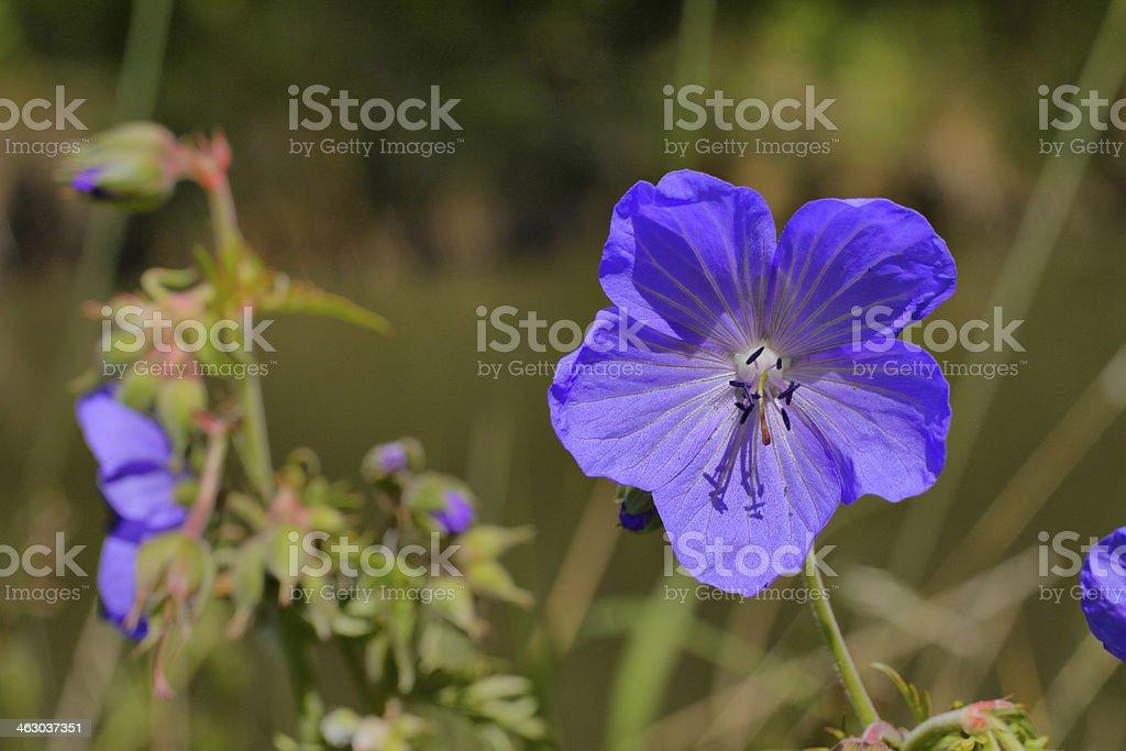 Meadow cranesbill Geranium pratense purple wildflower close up stock photo