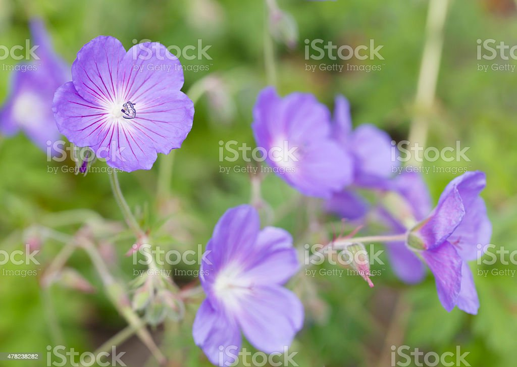 Meadow Cranesbill (Geranium pratense) stock photo