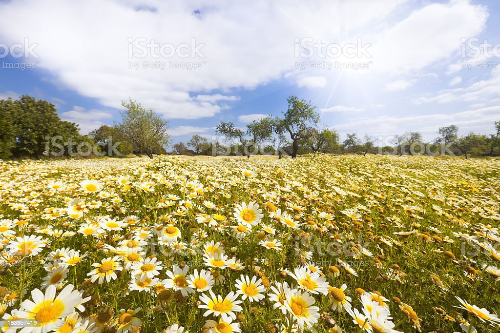Marguerites Meadow royalty-free stock photo
