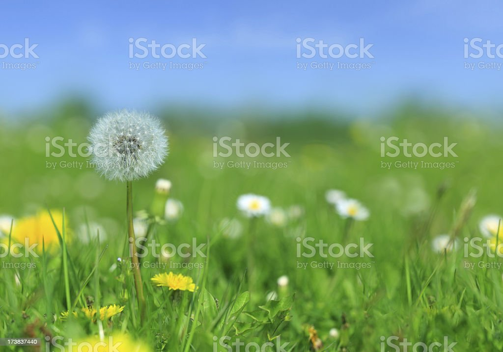 Meadow - dandelion, flowers and green grass royalty-free stock photo