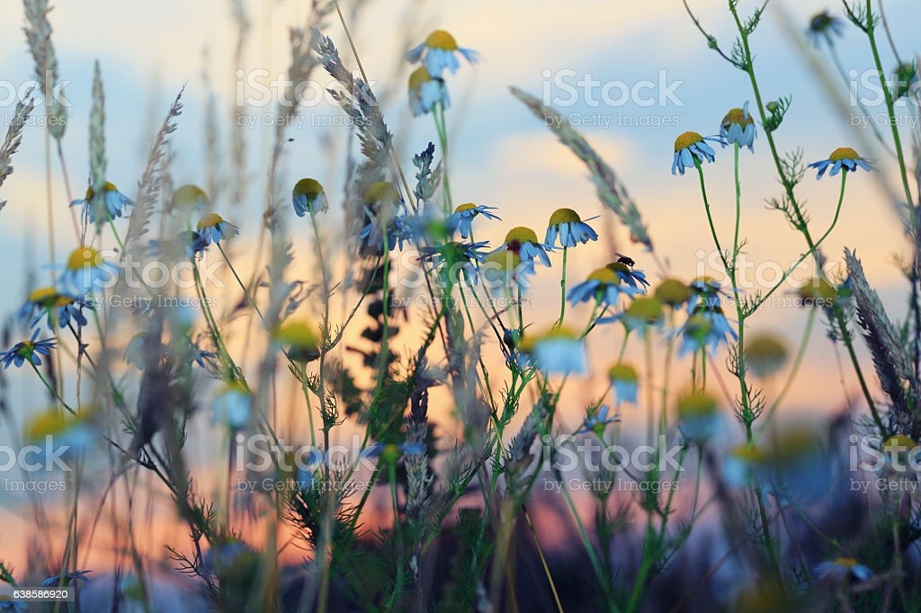 Meadow during sunset stock photo
