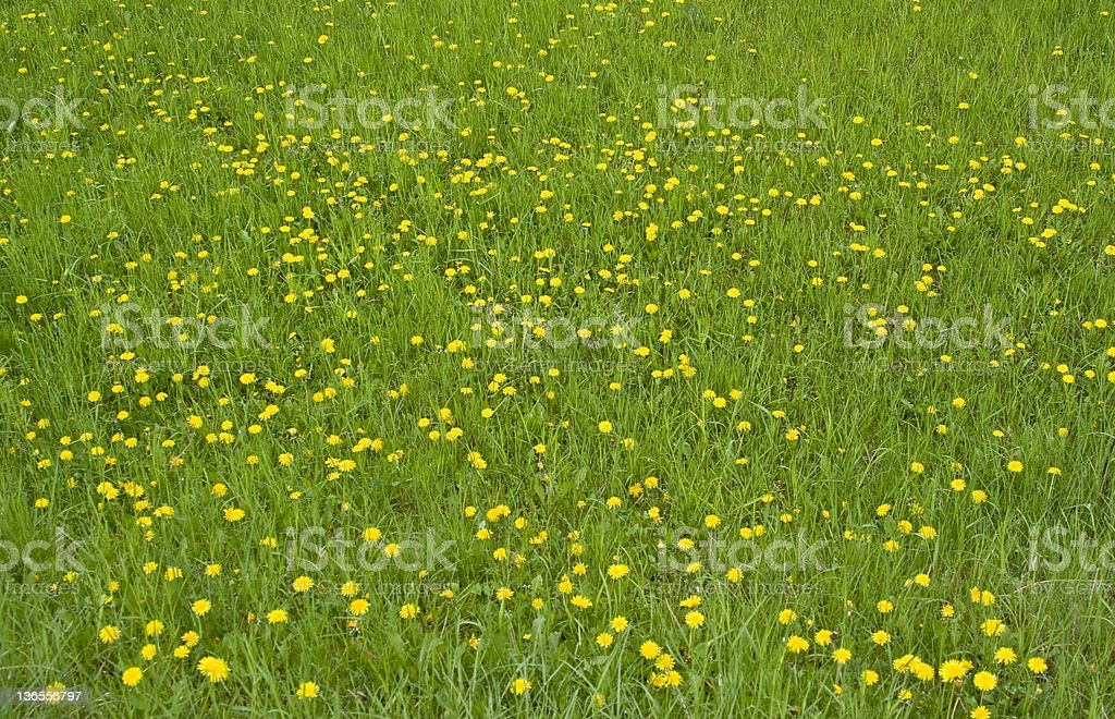A Meadow during the summertime full of yellow flowers  stock photo