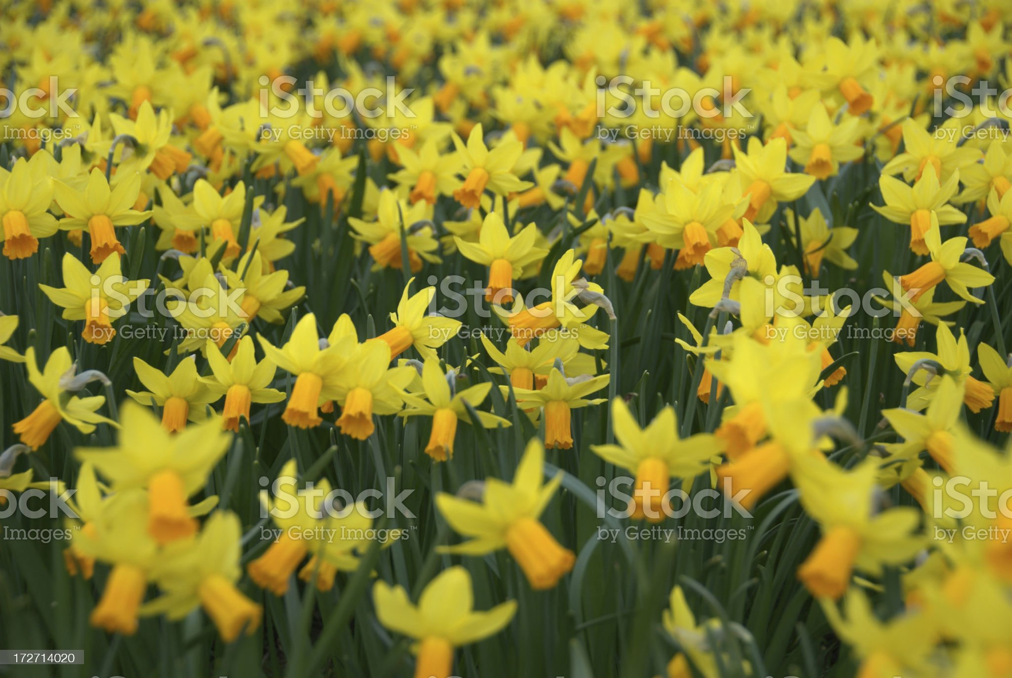 Meadow filled with Daffodils royalty-free stock photo