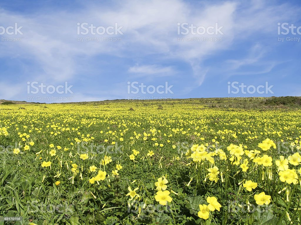 Meadow filled with yellow flowers in spring royalty-free stock photo