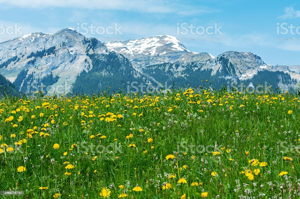 Meadow, flower field and mountain alps stock photo
