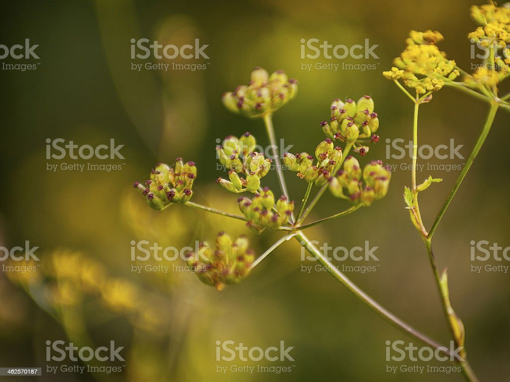 Meadow flowers and  Aegopodium podagraria in yellow sunlight stock photo