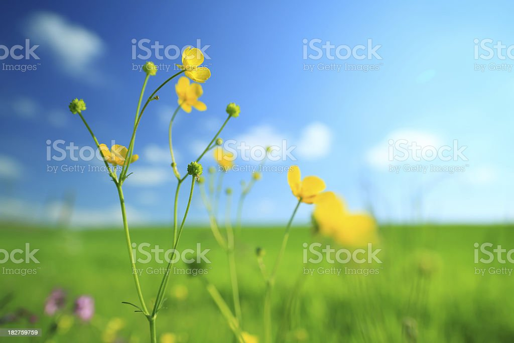 Meadow - flowers and green grass royalty-free stock photo
