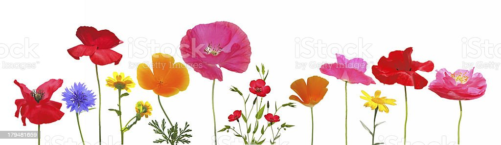 Meadow flowers in bloom isolated on white background stock photo