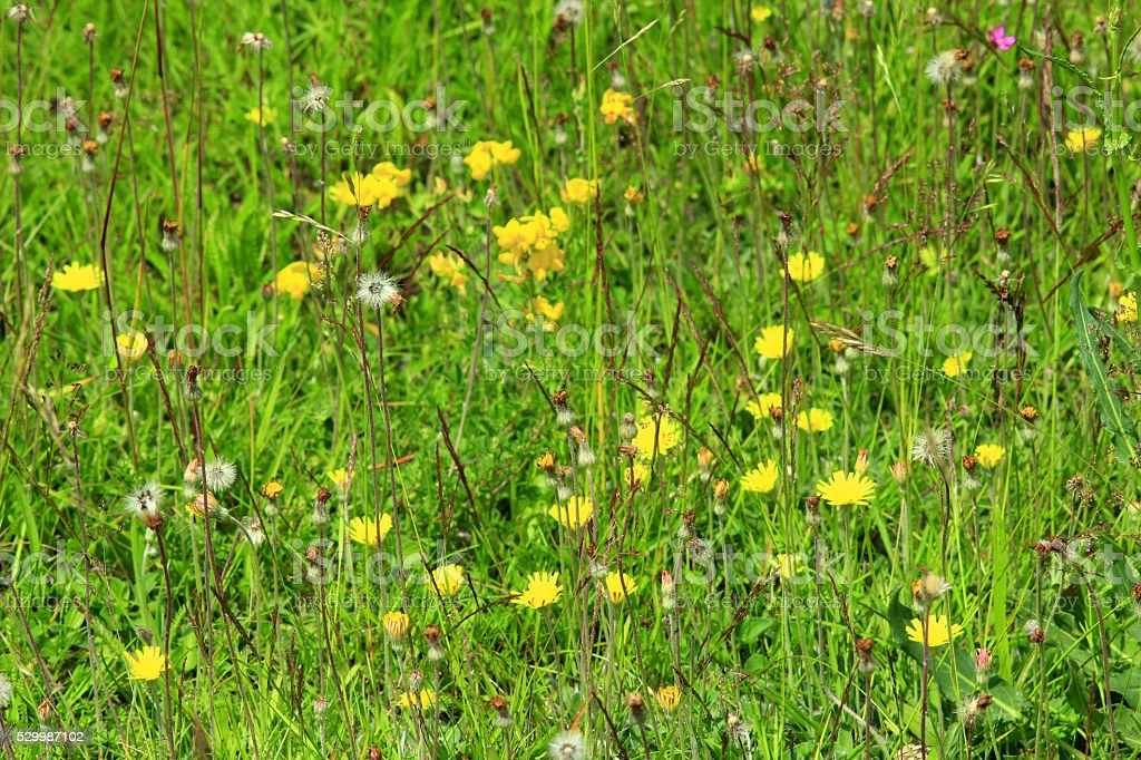 meadow flowers of Galium verum and Sonchus arvensis stock photo