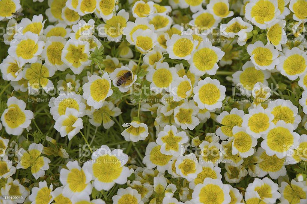 Meadow foam royalty-free stock photo