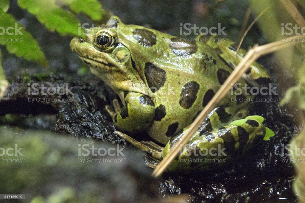 Meadow Frog stock photo