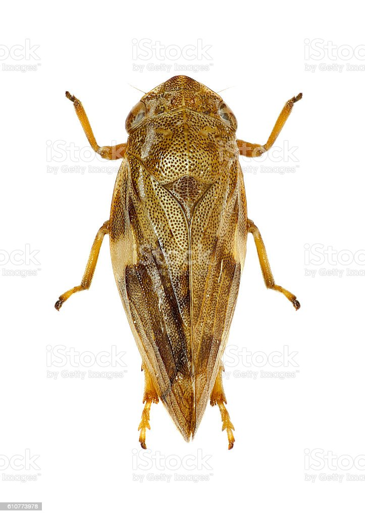 Meadow Froghopper on white Background stock photo