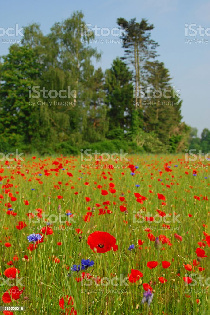 Meadow full of blooming papaver rhoeas and some cornflowers stock photo