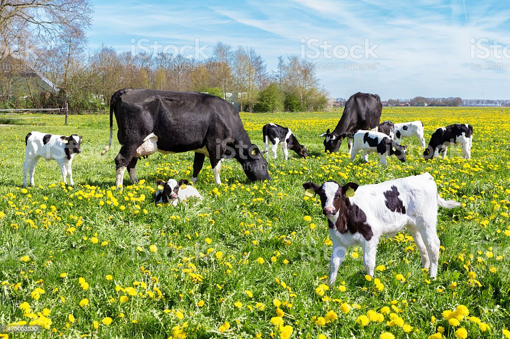 Meadow full of dandelions with grazing cows and calves stock photo