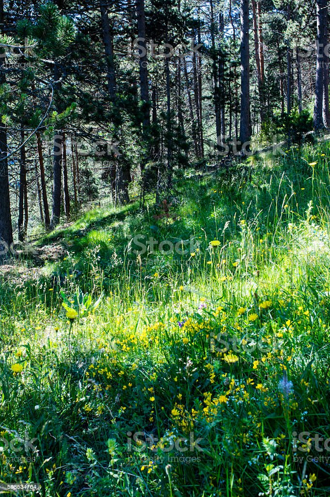 Meadow full of flowers in the forest in Pyrenees stock photo