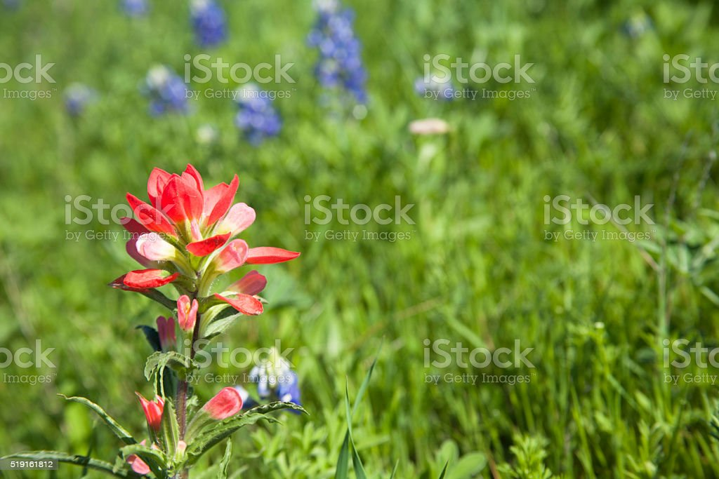 Meadow full of indian paint brush, bluebonnet flowers.  Texas, USA. stock photo