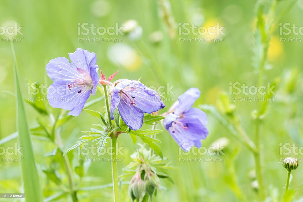meadow geranium blue flowers in a meadow stock photo