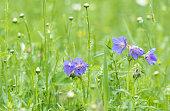 meadow geranium blue flowers in a meadow