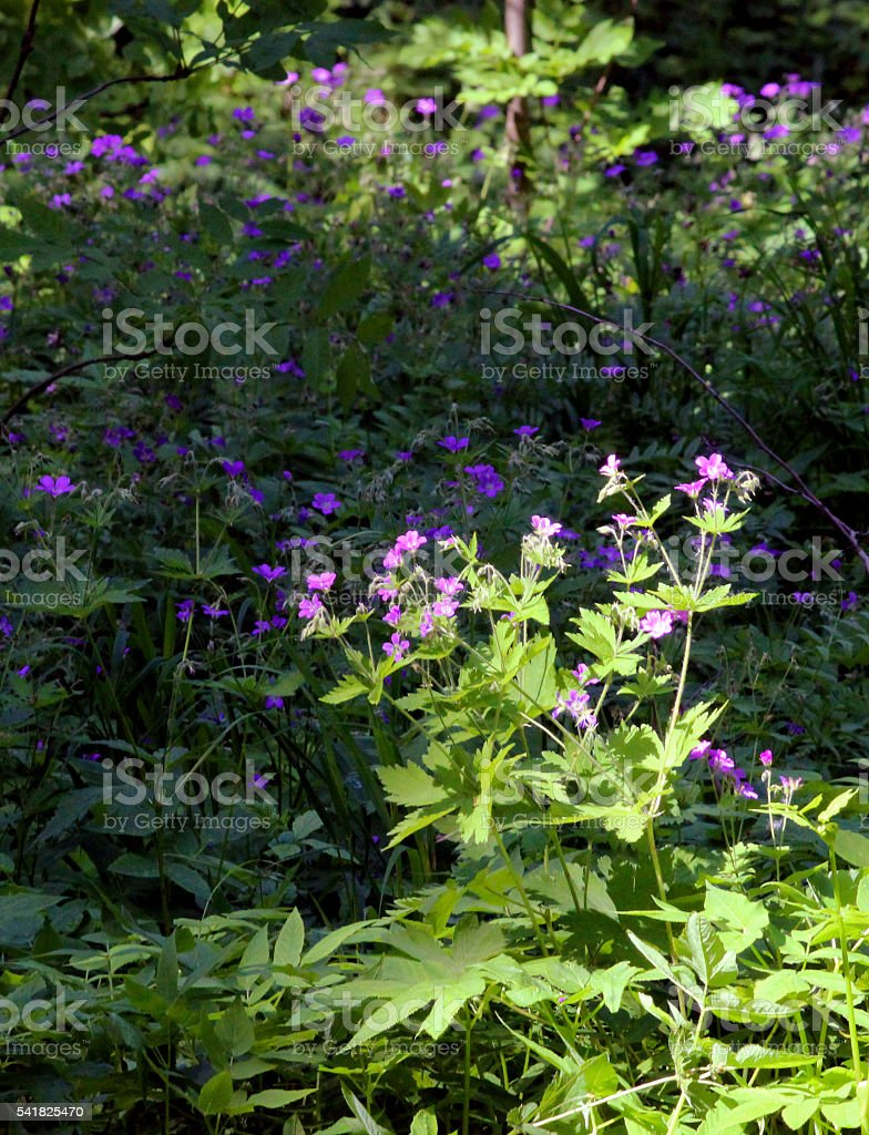 Meadow geranium flowers are blooming in the summer field. stock photo