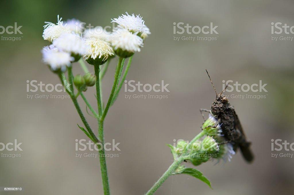 meadow grasshopper 'Chorthippus parallelus' on white flower. stock photo