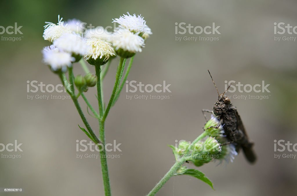 meadow grasshopper 'Chorthippus parallelus' on white flower. stock photo