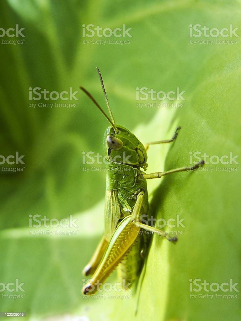 Meadow grasshopper, Chorthippus parallelus royalty-free stock photo