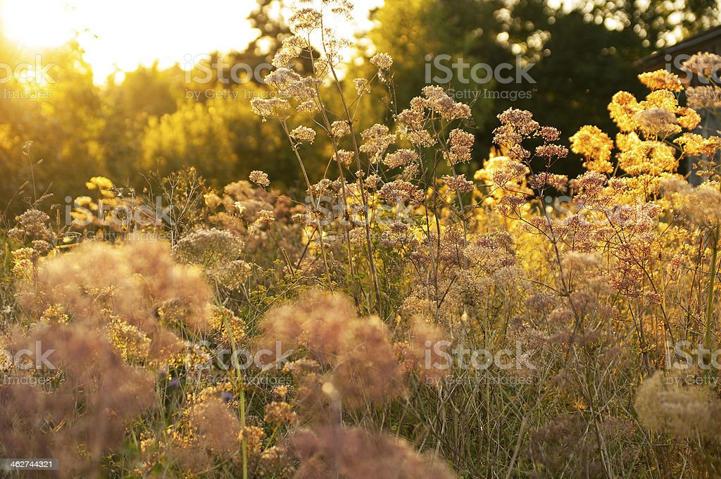 Meadow in orange sunlight (chervil-Anthriscus cerefolium) on forest edge royalty-free stock photo