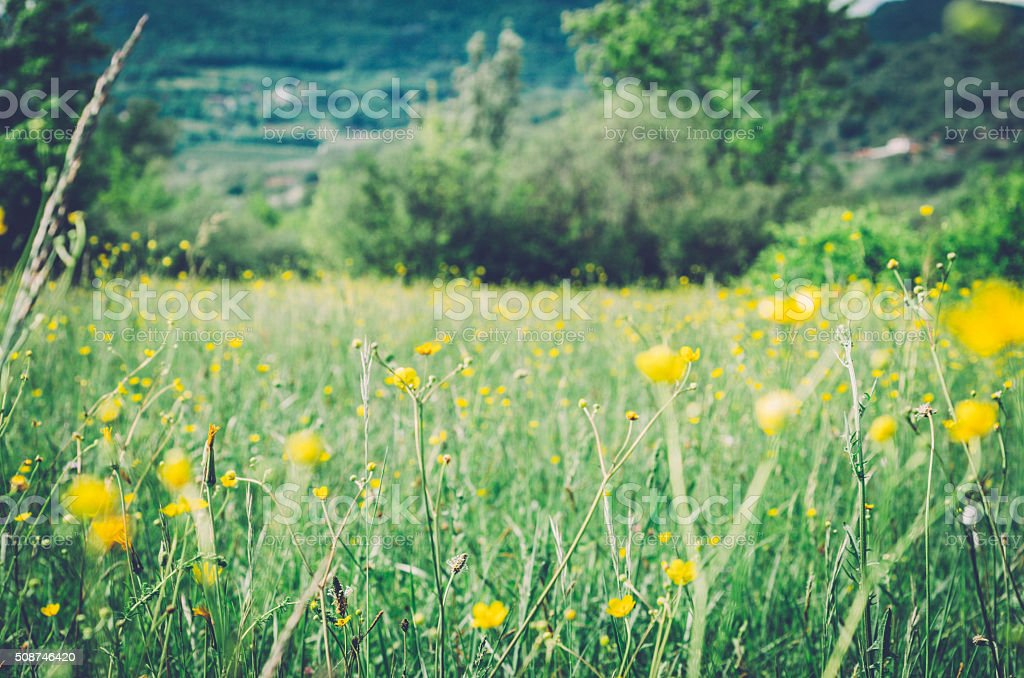 meadow in spring; yellow flowers stock photo