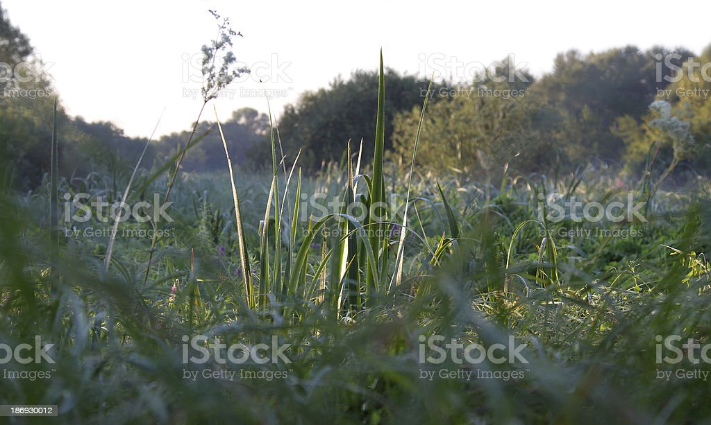 meadow in the morning royalty-free stock photo