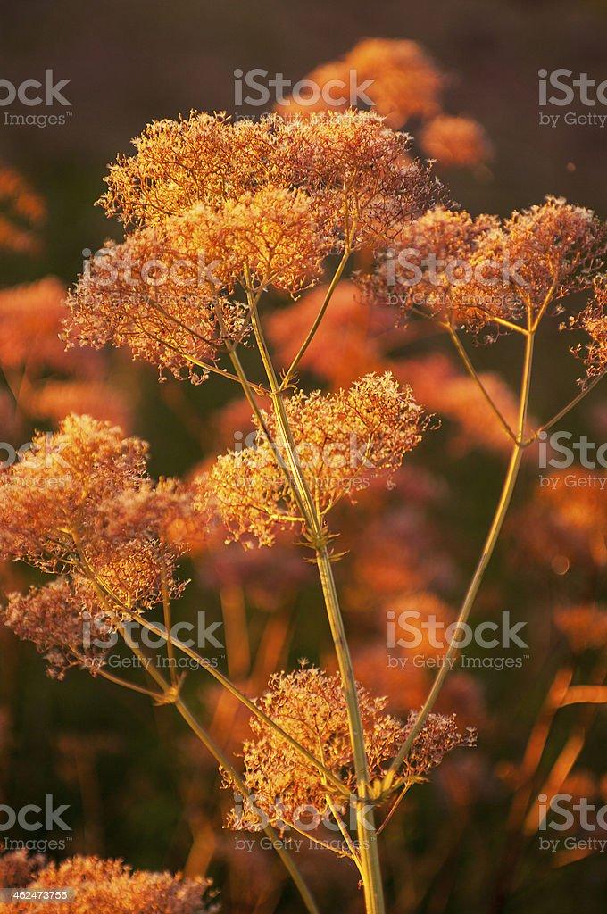 Meadow medical herbs in orange sunlight (chervil-Anthriscus cerefolium) royalty-free stock photo