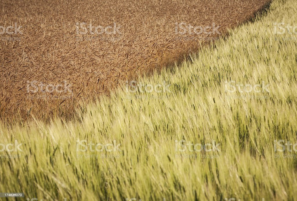 Meadow: mixing of wheat royalty-free stock photo
