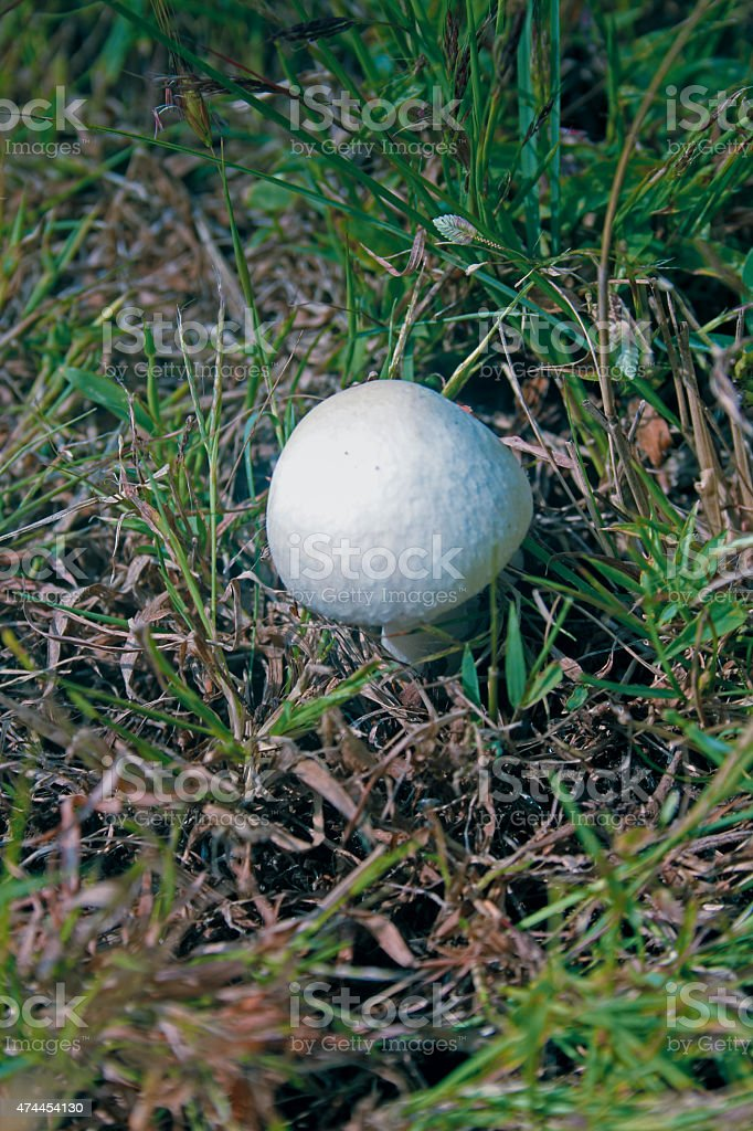 Meadow mushroom, Agaricus campestris stock photo