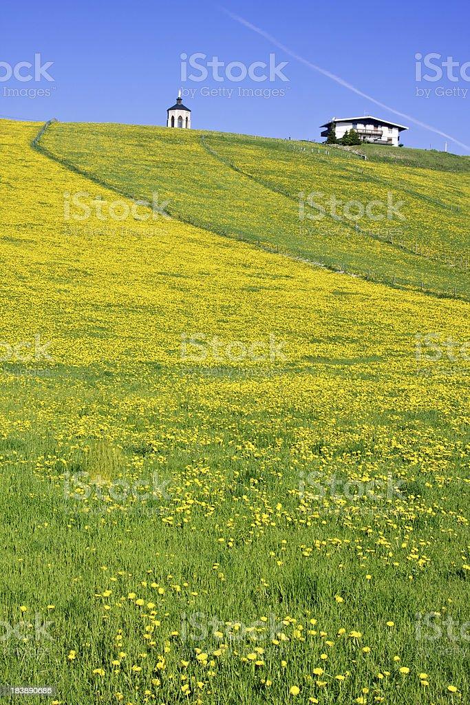 Meadow of blooming dandelion flowers stock photo